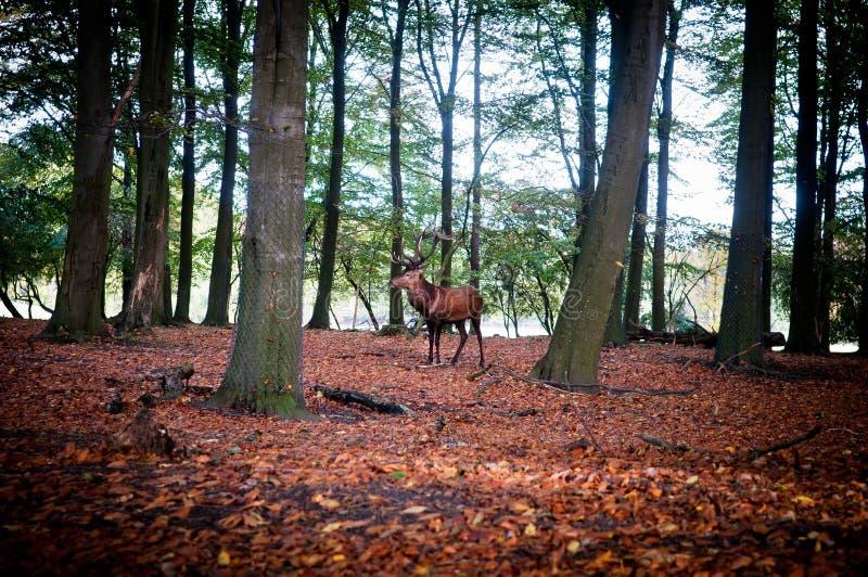 Ciervos rojos imagen de archivo libre de regalías