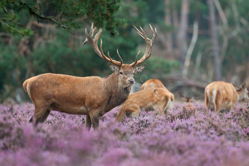 Ciervos rojos con un pequeño grupo imagen de archivo libre de regalías