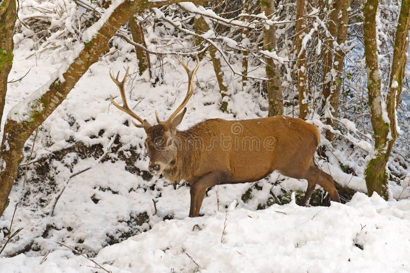 Ciervos rojos en el bosque del invierno fotos de archivo
