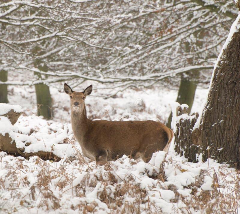 Ciervos Rojos En La Nieve Foto de archivo