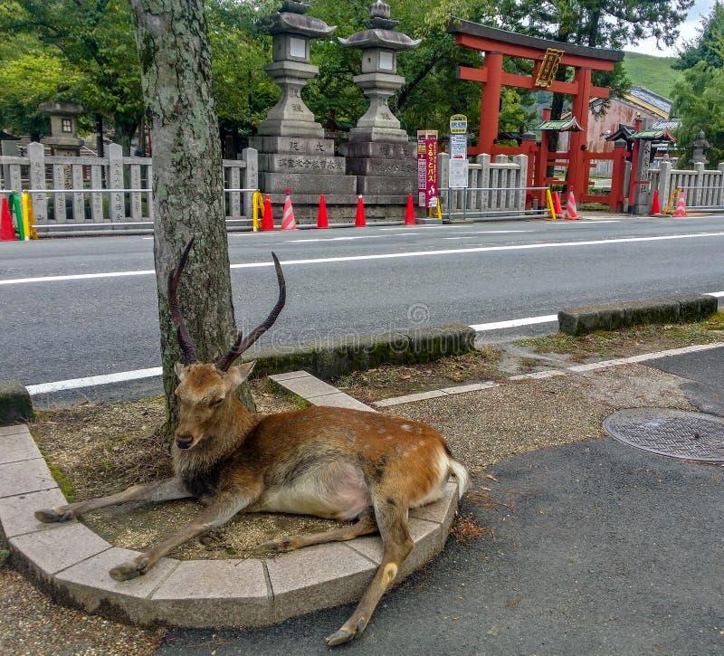 Ciervos sagrados masculinos grandes de un sika en Nara Park fotografía de archivo libre de regalías