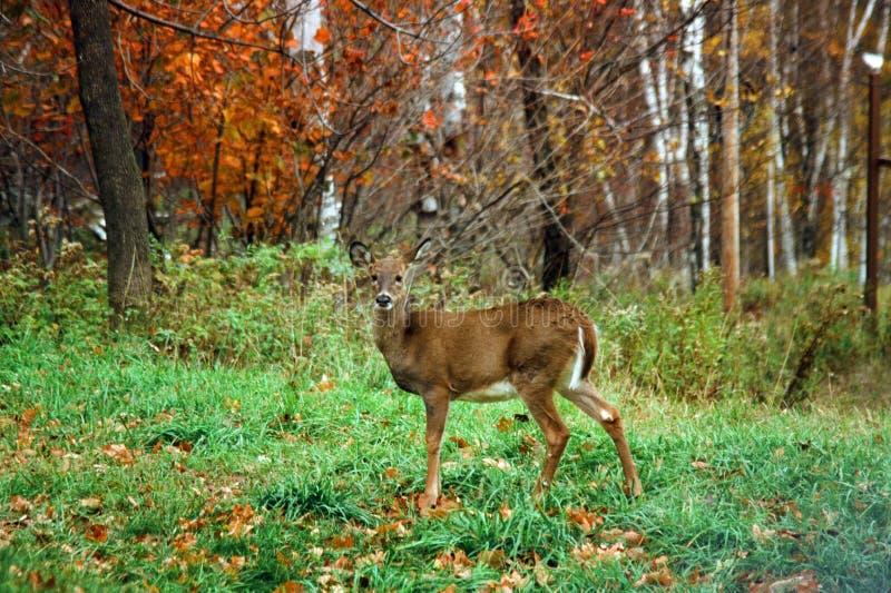 Ciervos salvajes en Rib Mountain, WI imagen de archivo libre de regalías