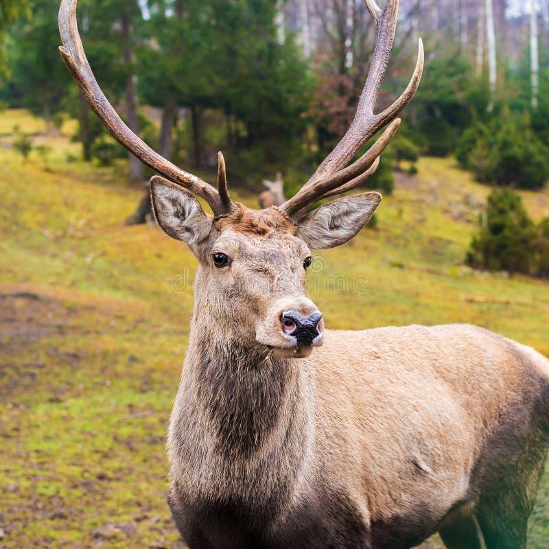 Ciervos salvajes que presentan para la cámara que se opone a un fondo de fotografía de archivo libre de regalías