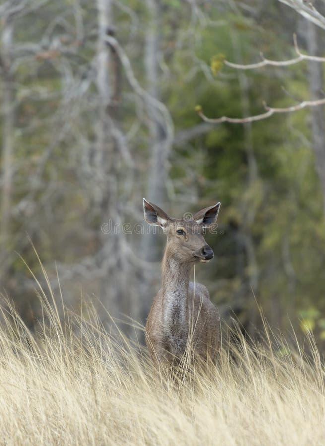Ciervos sanbar alertas que tienen cuidado para los depredadores fotografía de archivo