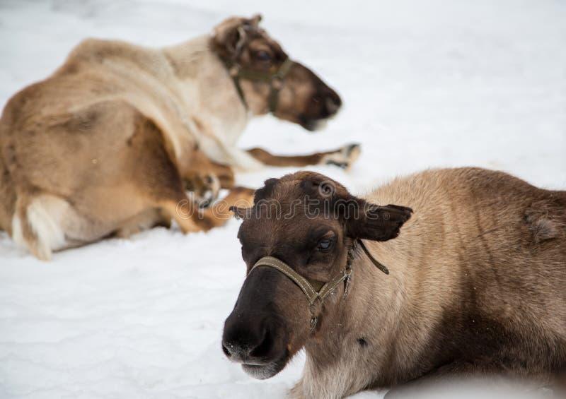 Ciervos septentrionales fotos de archivo