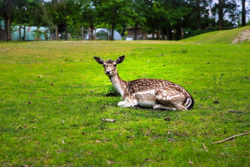 Ciervos soñolientos en el parque zoológico foto de archivo