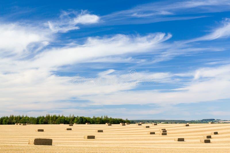 Cieux bleus au-dessus des zones de maïs en Angleterre photographie stock libre de droits