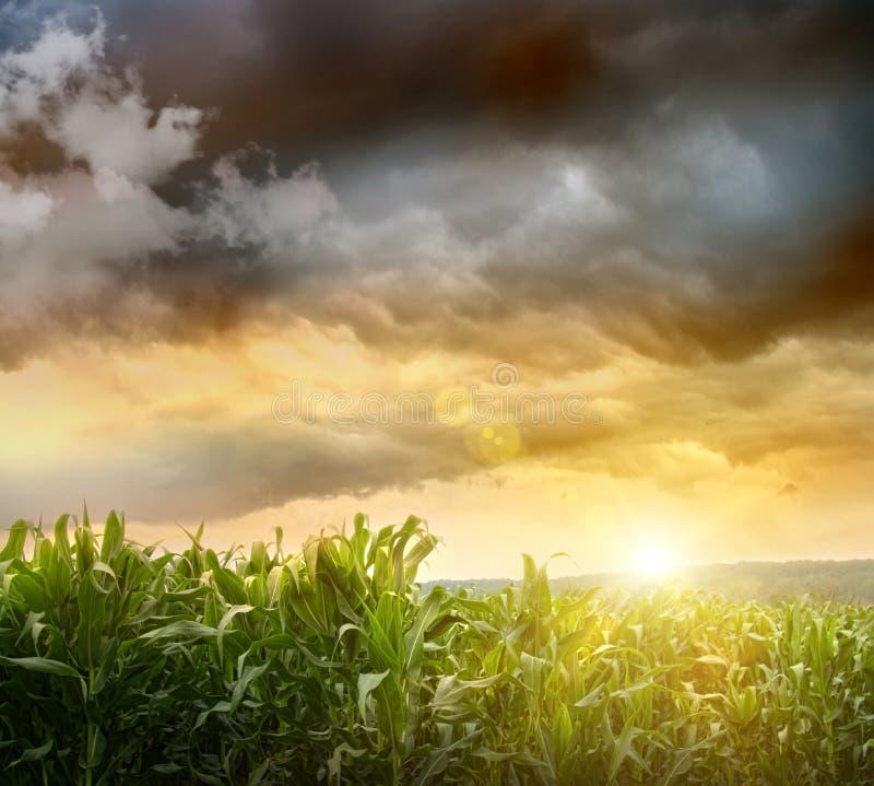 Cieux foncés apparaissant indistinctement au-dessus des zones de maïs image stock