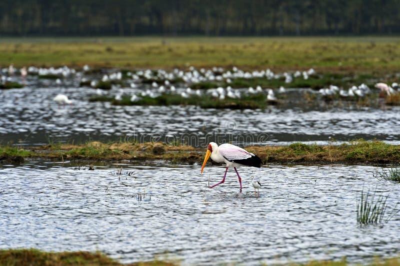 Download Cigüeña Amarillo-mandada La Cuenta Imagen de archivo - Imagen de hermoso, vegetación: 44851697