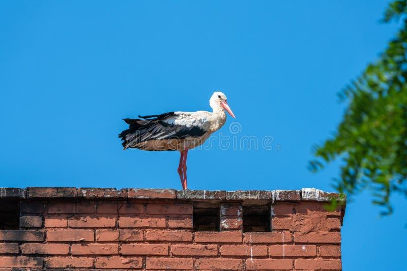Cigüeña blanca - ciconia del Ciconia fotos de archivo libres de regalías