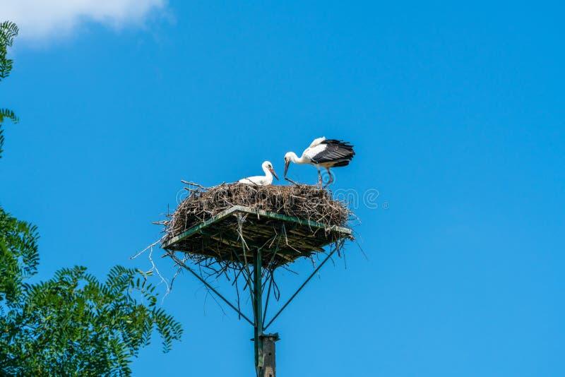 Cigüeña blanca - ciconia del Ciconia foto de archivo libre de regalías