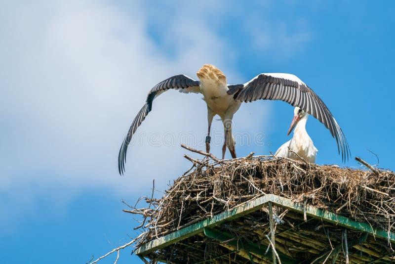 Cigüeña blanca - ciconia del Ciconia fotografía de archivo libre de regalías