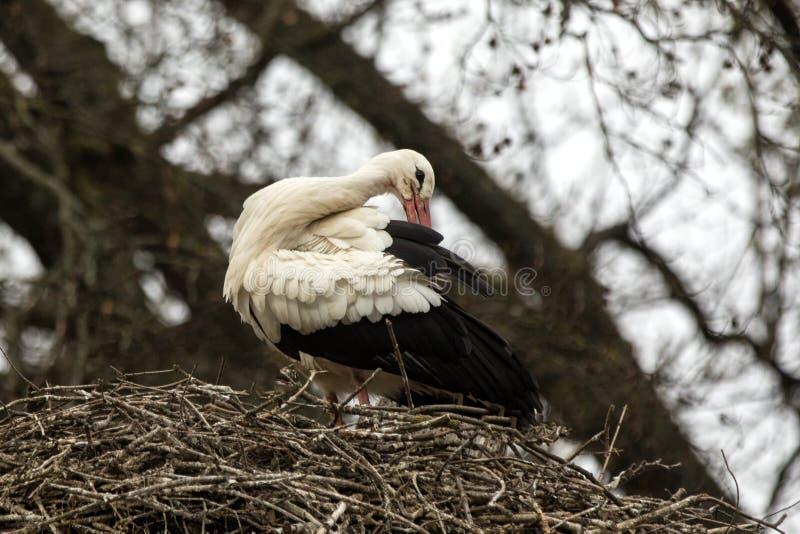 Cigüeña blanca en la jerarquía en la primavera, escena de la fauna, Alemania, pájaro común en su ambiente, pájaro blanco y negro  imagen de archivo libre de regalías
