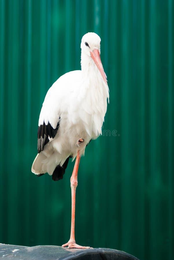 Cigüeña blanca en un fondo verde, fotografía de archivo