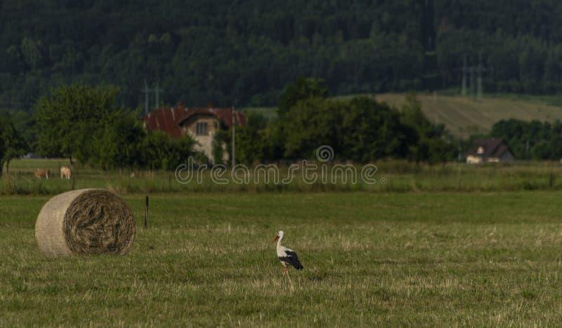 Cigüeña con la bola del heno en prado verde en día de verano imagen de archivo