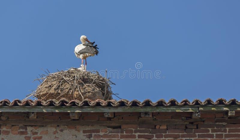 Cigüeña con los polluelos en la jerarquía fotografía de archivo