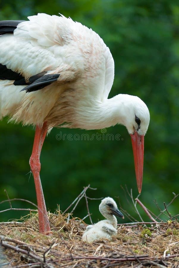 Cigüeña de la madre y del bebé imagenes de archivo