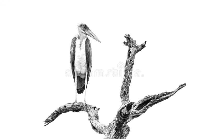Cigüeña de marabú encaramada fotografía de archivo