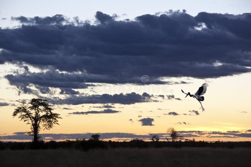 Cigüeña de Saddlebilled (senegalansis del Ephippiorhynchus) imagenes de archivo
