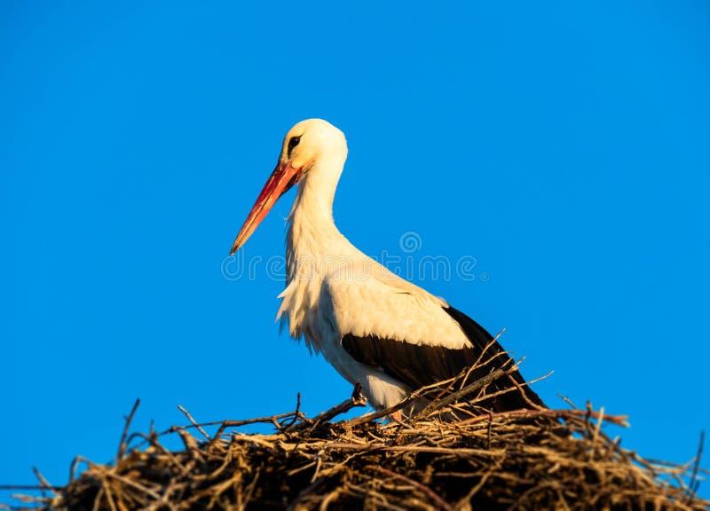 Cigüeña en su jerarquía en el cielo azul fotografía de archivo libre de regalías