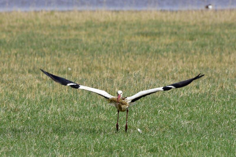 Cigüeña en vuelo imagen de archivo