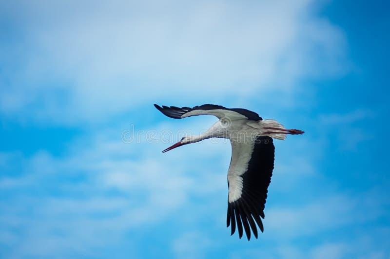 Cigüeña en vuelo imágenes de archivo libres de regalías