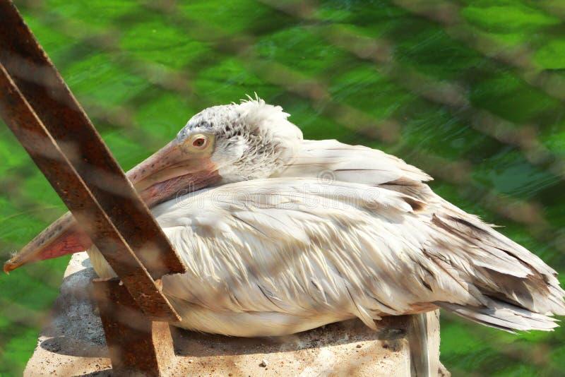 Cigüeña grande que descansa o que mira fotografía de archivo