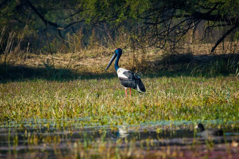 cigüeña Negro-necked masculina que busca para que pájaro mate por una mañana del invierno fotografía de archivo