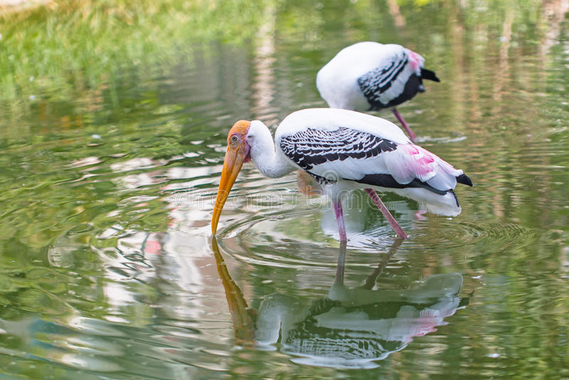 Cigüeña pintada en el parque zoológico fotografía de archivo libre de regalías