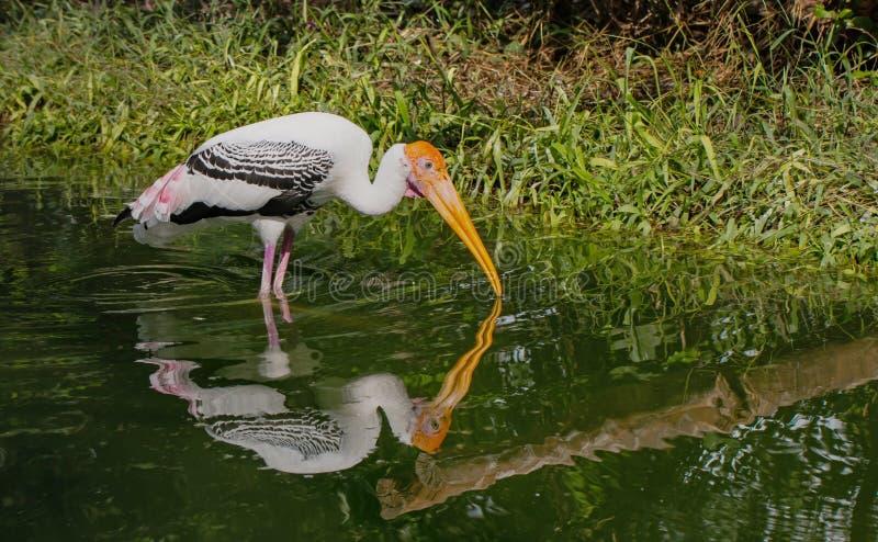 Cigüeña pintada en el parque zoológico imagenes de archivo