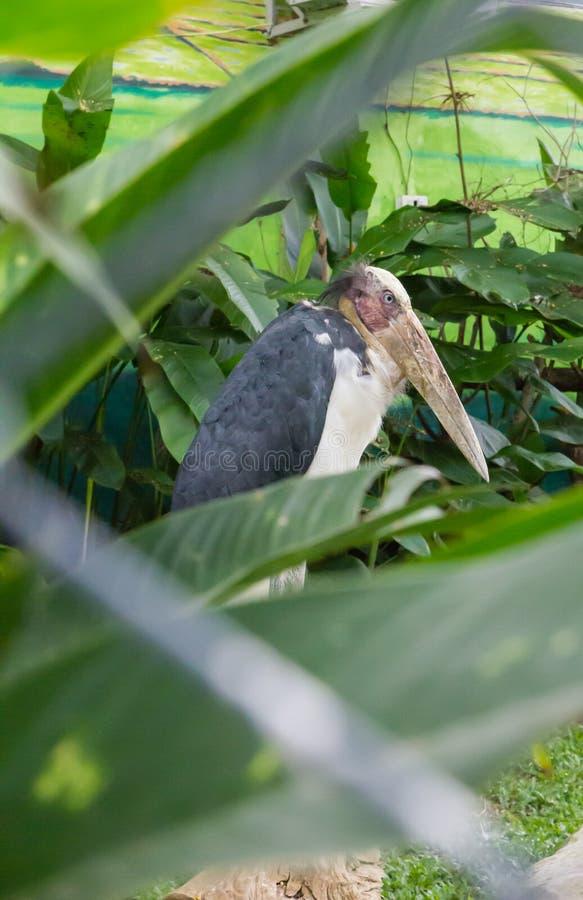 Cigüeña pintada en parque zoológico fotos de archivo libres de regalías