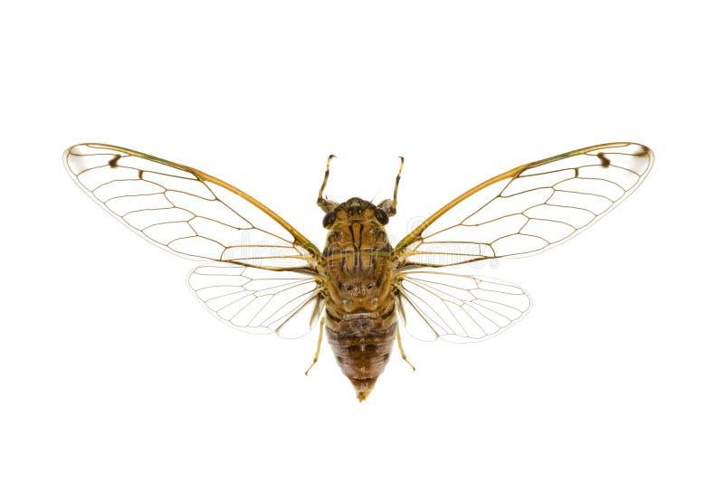 Cigale, cicadidae photos stock