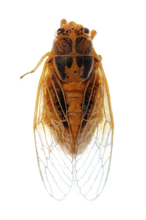Cigale minuscule d'or d'insecte image stock
