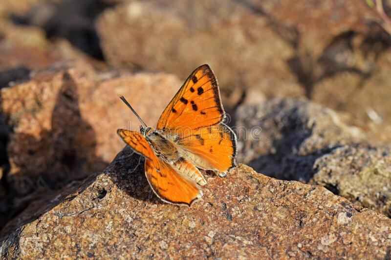 Cigaritis maxima butterfly sitting on rock open wings , butterflies of Iran. Closeup macro photo of Cigaritis maxima butterfly sitting on rock open wings royalty free stock photos