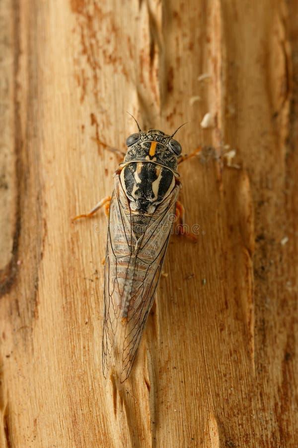 Cigarra Euryphara do close up, conhecido como a cigarra europeia, rastejando na casca de árvore fotos de stock