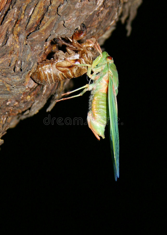 Cigarra, insecto común a Australia imagen de archivo