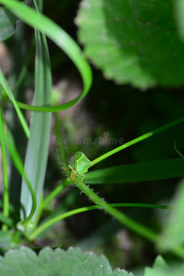 Cigarra verde - bisonia de Stictocephala do treehopper do búfalo na natureza verde imagem de stock