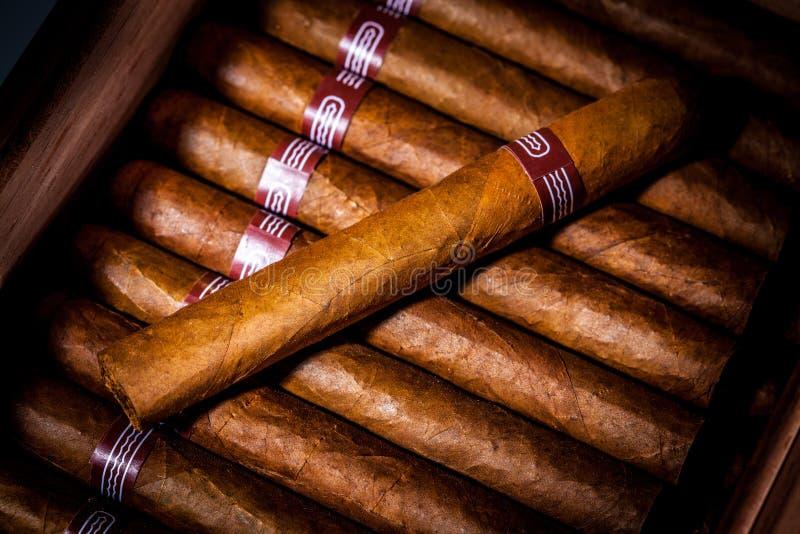 Cigarrer i humidor royaltyfri foto