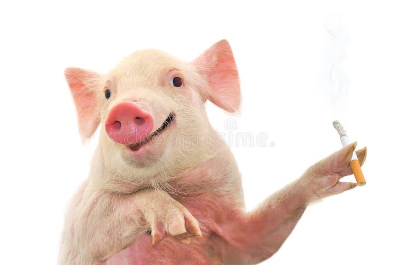 Cigarro de fumo do porco imagem de stock