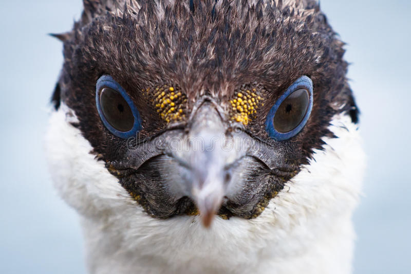 Cigarro picado de olhos azuis dos animais selvagens antárticos imagem de stock