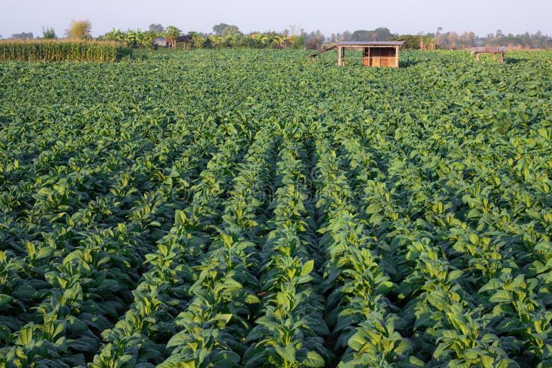 [Cigarro Tailândia] Vista de uma jovem planta de cigarro verde em campo em Nongkhai da Tailândia fotografia de stock royalty free