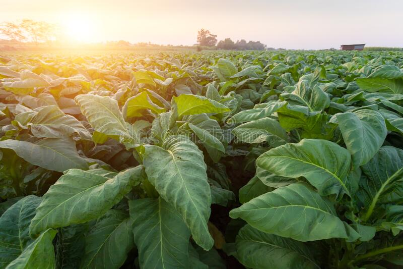 [Cigarro Tailândia] Vista de uma jovem planta de cigarro verde em campo em Nongkhai da Tailândia fotografia de stock