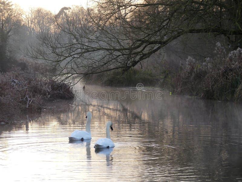 Cigni ad alba sugli scacchi del fiume al fondo di Sarratt, Hertfordshire fotografie stock