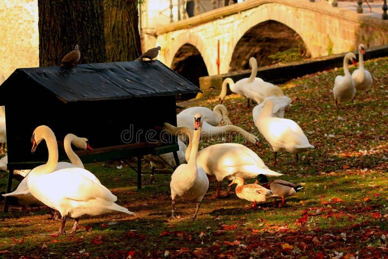 Cigni bianchi all'alimentatore dell'azienda agricola immagine stock
