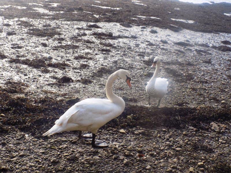 Cigni bianchi a Berwick sopra tweed, Northumberland Regno Unito immagini stock