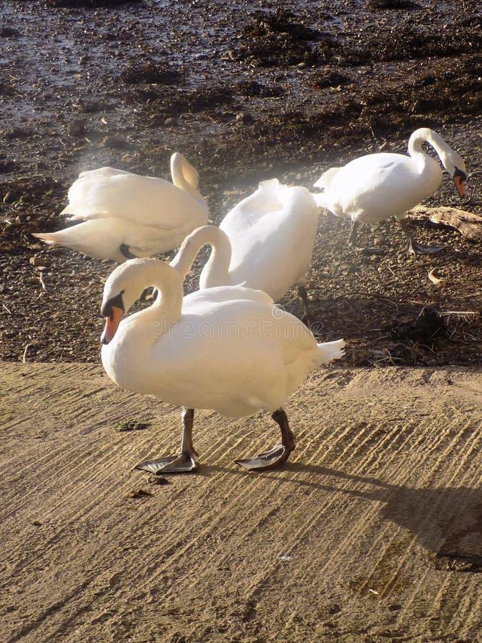 Cigni bianchi a Berwick sopra tweed, Northumberland Regno Unito fotografia stock libera da diritti