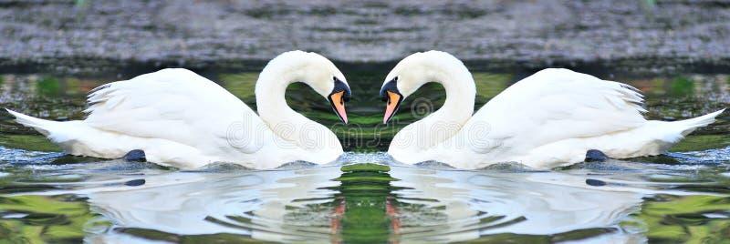 Cigni bianchi gemellati che galleggiano nel lago immagine stock