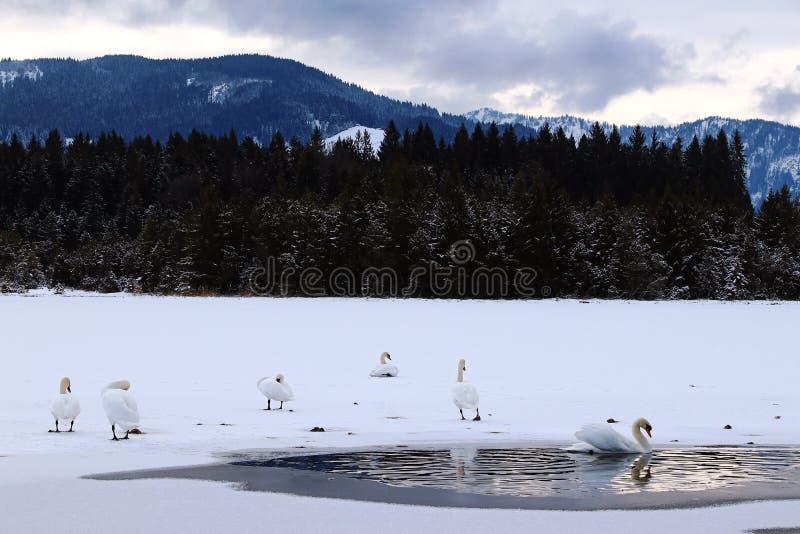 Cigni bianchi su un lago congelato in Baviera fotografia stock