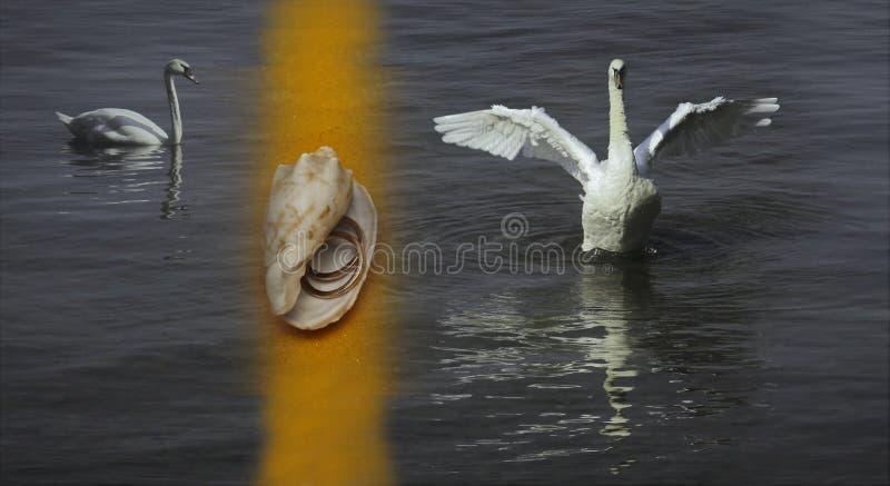 Cigni bianchi sul lago e sulle coperture con gli anelli fotografia stock