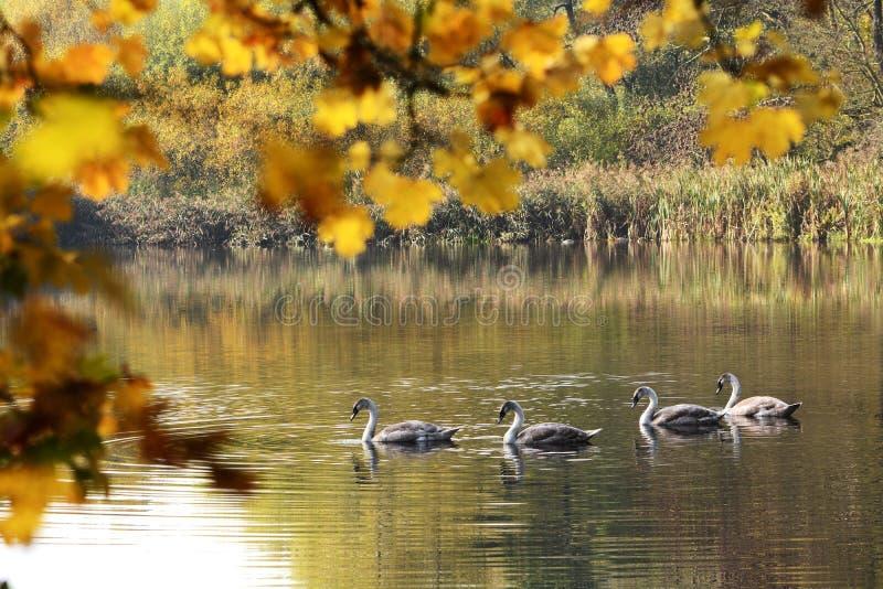 Cigni che nuotano nel lago immagine stock libera da diritti